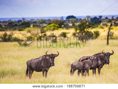 Blue Wildebeests At The Kruger National Park, South Africa