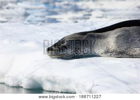 Leopard seal resting on ice floe, Antarctic peninsula