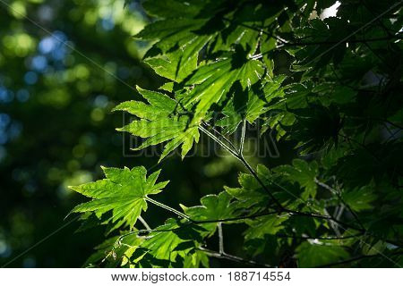 View on green Leaves in the Morning Light, Light flooded Leaves in the Forest