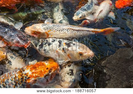 Japan Fish Call Carp Or Koi Fish Colorful, Many Fishes Many Color Swimming In The Pond, Batumi, Geor