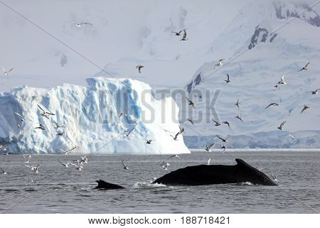 Huge humpback whale, showing on the dive, Antarctic Peninsula
