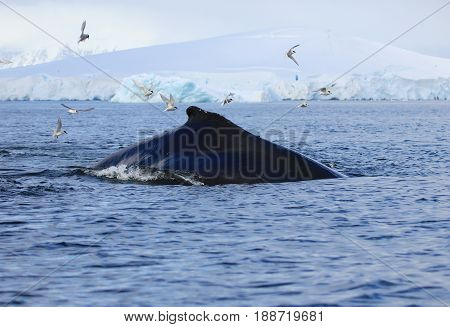 Huge humpback whale, in the Antarctic waters, Antarctic Peninsula