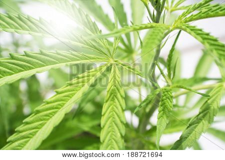 Cannabis Plant Sun Burst High Quality Stock Photo