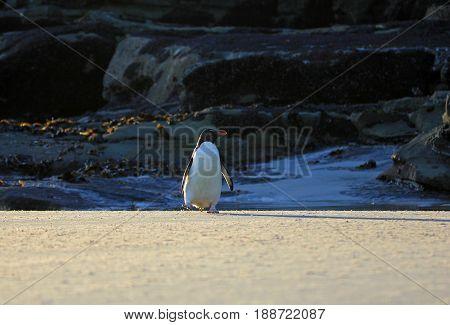 Rockhopper penguin in the neck, Falkland Islands