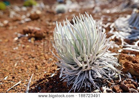 Haleakala Silversword, Highly Endangered Flowering Plant Endemic To The Island Of Maui, Hawaii