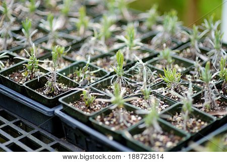 Lavender Seedlings In The Greenhouse Located In Kula Lavender Farm Ion Maui, Hawaii