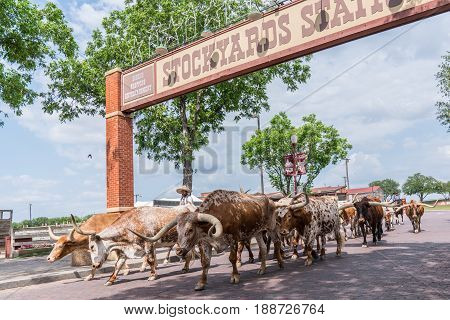 FORT WORTH TX - MAY 11, 2017: Longhorn Cattle Drive at the stockyards of Fort Worth, Texas.