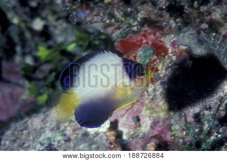 A Multicolored Angelfish, (Centropyge multicolor) lives in deep water at the Kwajalein Atoll in the Pacific