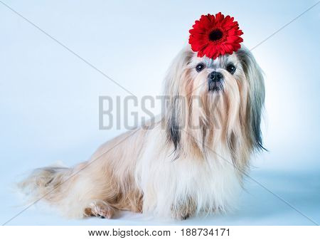 Shih tzu dog sitting with red flower decoration. On white and blue background.