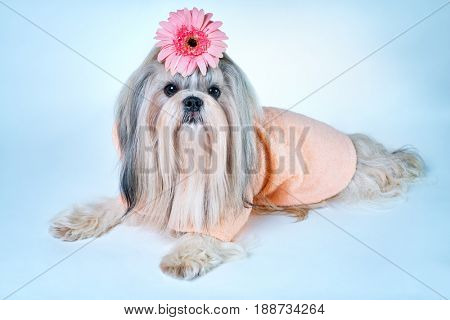 Shih tzu dog in pink bathrobe lying with flower decoration. On white and blue background.
