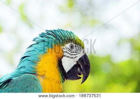 Blue and yellow macaw or blue and gold macaw, Ara ararauna, bird of the Psittacidae family and one of the most famous parrots of the world.