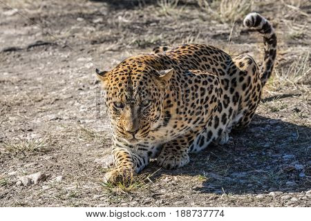Large predator in the wild savannah. African spotted leopard after feeding. Travel to Namibia. The concept of exotic and extreme tourism