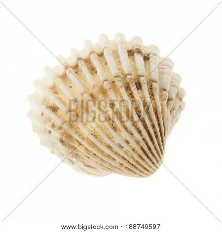 One beige cockle seashell isolated on white background, closeup