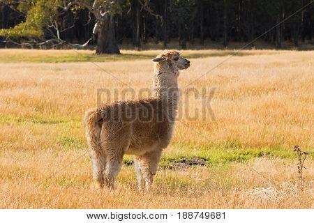 Side view of Alpaca, fluffy animal with beige fur that looks like Llama stand on yellow grassland meadow. Autumn in Tasmania, Australia (Vicugna pacos)