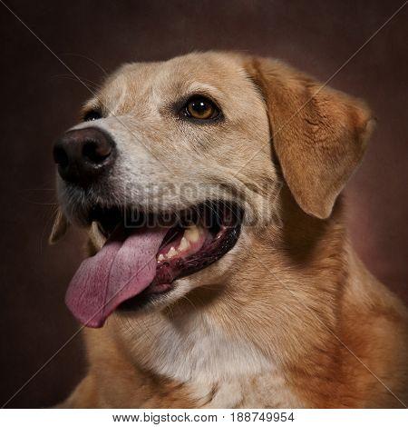 Yellow Labrador retriever posing against a brown background.