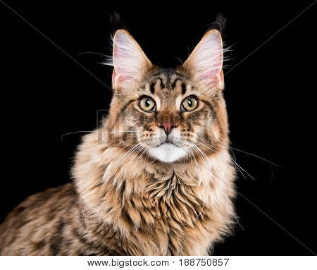 Portrait of domestic black tabby Maine Coon kitten. Fluffy kitty on black background. Studio shot beautiful curious young cat looking at camera.