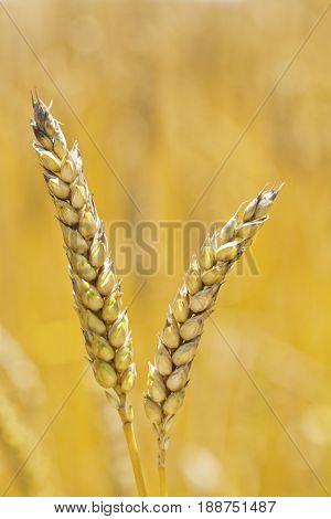 wheat in a field