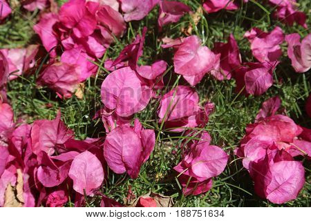 hot pink bougainvillea flowers on green grass. background and texture pattern. hot pink and green grass pattern for wallpapers backgrounds and more.
