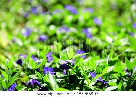 Macro of periwinkle creeping myrtle flowers