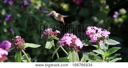 A beautiful hummingbird hovers above a flower as it drinks its sweet nectar. Hummingbirds are important pollinators and help flowers grow.
