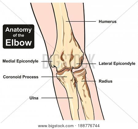 Anatomy of the Elbow joint diagram including all bones humerus radius ulna for medical science education