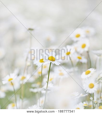 beautiful field of giant daisies.
