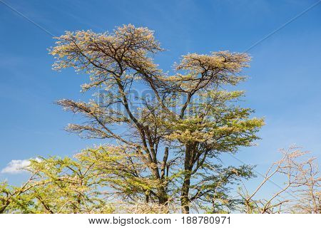 nature, environment and wildlife concept - acacia trees in maasai mara national reserve savannah at africa
