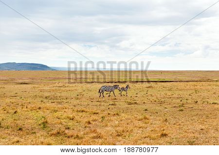 animal, nature and wildlife concept - zebras with baby grazing in maasai mara national reserve savannah at africa