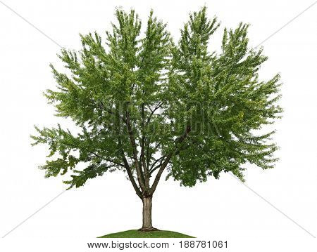 Single silver maple tree isolated on white background