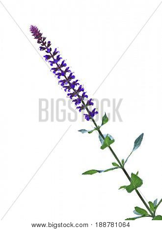 Purple meadow sage salvia pratensis flower isolated on white background