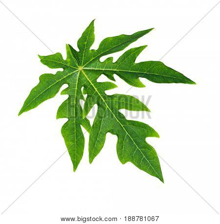 Single papaya leaf isolated on white background