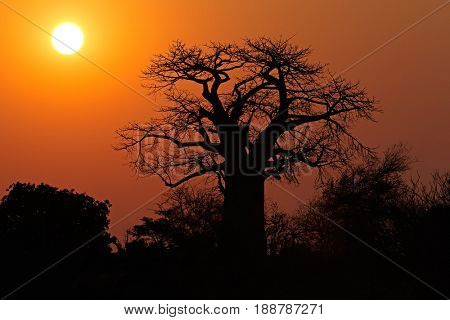 Sunset with a silhouetted baobab tree, Kruger National Park, South Africa