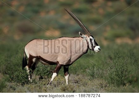 A gemsbok antelope (Oryx gazella) in natural habitat, Kalahari desert, South Africa