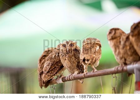 Group of small screech owl (Megascops kennicottii)