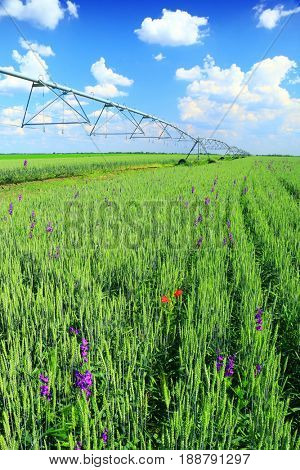 Pivot irrigation in wheat field