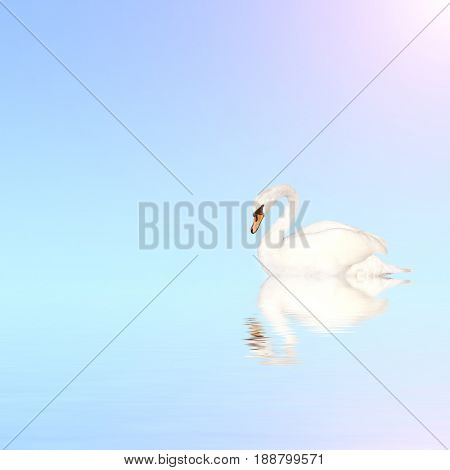 Mute swan on blue water on sunny sky background with reflection in waves. Copy space for your text
