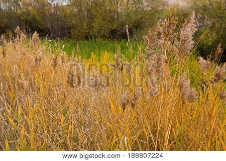 Colorful yellow golden color of ornamental reed grass in the field. Autumn in Tasmania, Australia