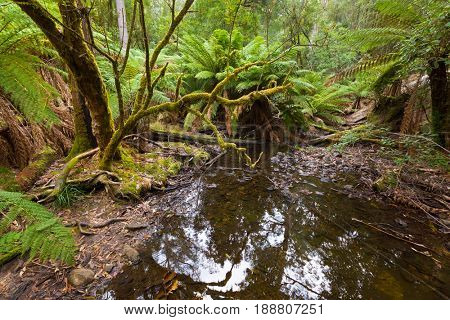Tree Ferns growing near creek surrounded by forest covered with green moss at Mount Field national park in Tasmania, Australia (Dicksonia antarctica)