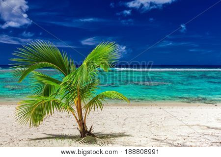 Small palm tree on a sandy Rarotonga beach with coral reef, Cook Islands
