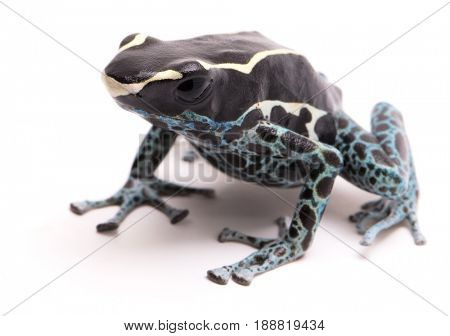 Deying poison dart frog, Dendrobates tinctorius powder blue. A beautiful small exotic aniaml from the Amazon jungle in Suriname. Isolated on a white backgorund.