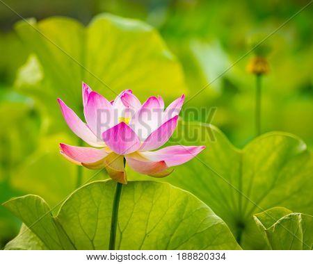 Closeup photo of the lotus flower