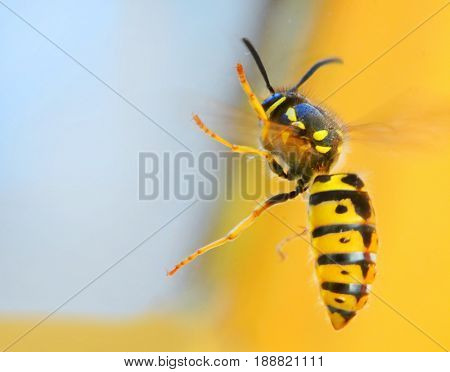 The Wasp - Vespula Germanica flying from a window. A wasp's stinger contains venom that's transmitted to humans during a sting. Can cause significant pain, irritation and dangerous allergic reaction.