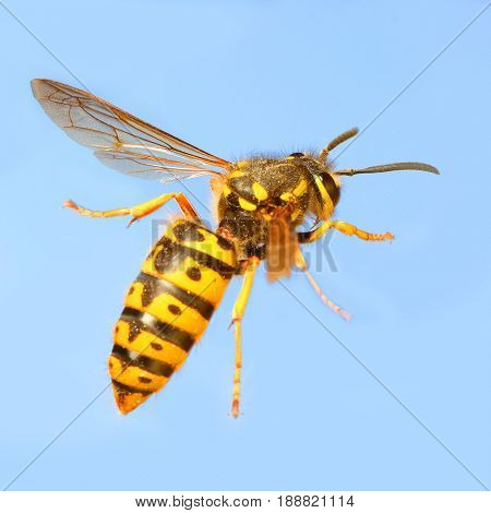 The Wasp - Vespula Germanica flying on blue sky. A wasp's stinger contains venom that's transmitted to humans during a sting. Can cause significant pain, irritation and dangerous allergic reaction.