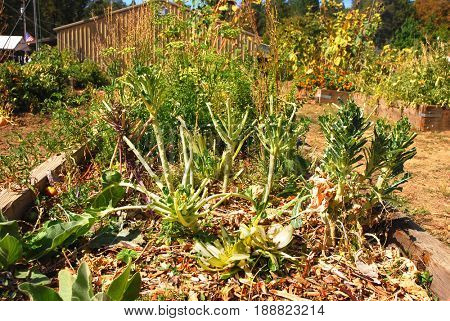 Vegetables in a community garden show signs of being eaten by deer