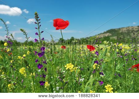 In poppies field. Nature composition.
