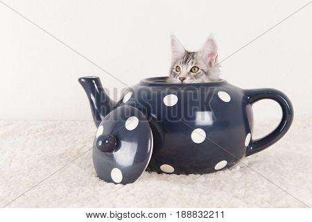 Little funny maine coon kitten in big blue tea pot