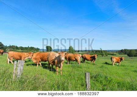 Cattle Limousin cows in French landscape