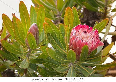 Soft focus of Protea flower head in red pink bract with white hairy feathery flower blossoming in Tasmania, Australia