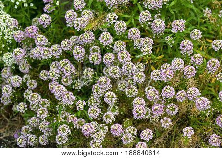 Pale purple and white flowers of Alyssum growing in garden in Tasmania, Australia