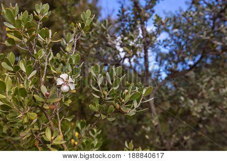 White flower of Woolly tea-tree blossoming during Autumn in Tasmania, Australia (Leptospermum lanigerum)